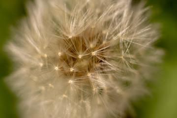 a dandelion in springtime macro