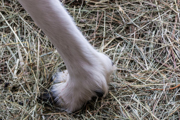 White paw of reindeer