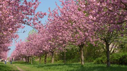 Blühende Kirschbäume im Park