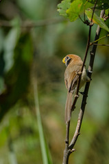 Spot- breasted Parrotbill on branch in nature