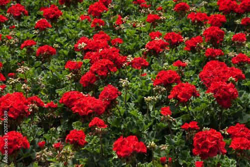 Geranium Calliope Dark Red Floral Bed Flower Bed Of Geranium