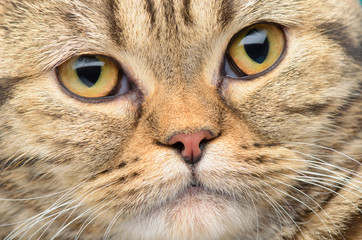 British cat close up portrait.
