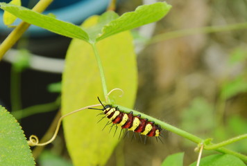 caterpillar climbing and feeding on butterfly pea branch in garden