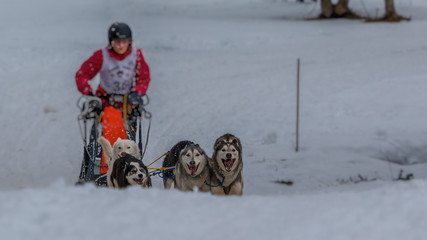 Schlittenhunde Rennen im kalten Winter, Husky_009