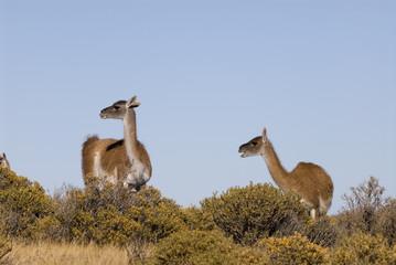 Guanaco (Lama Guanicoe) in Patagonia.