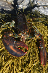 Coastal maine lobster with large claws on seaweed