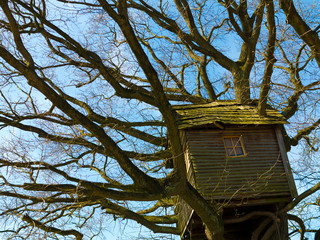 altes, schiefes baumhaus aus holz in knorrigem baum mit ästen, die durch das Dach wachsen
