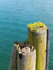 Weibchen einer Stockente tarnt sich und ihr Nest auf einem Dalben mit Meer im Hintergrund