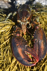 Wild lobster resting on a bed of seaweed