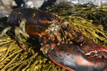 Live lobster resting on a bed of seaweed