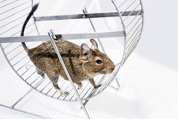 Small Australian home pet Degu.