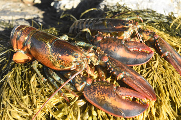 Stunning pair of large red lobsters off the coast