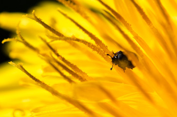 Beetle on dandelion