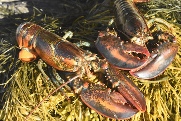 Close up of two maine lobsters on seaweed