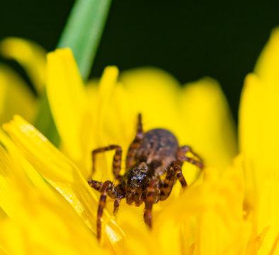 Spider on Dandelion