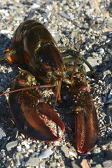 Beautiful maine lobster resting on the coast