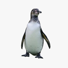 Polar Antarctic penguin stands isolated on white background.