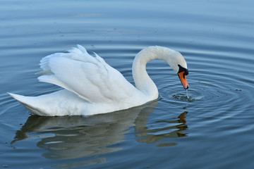 white swan drinks water from the lake drops reflexion