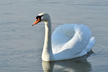 swan white close up portrait on lake water