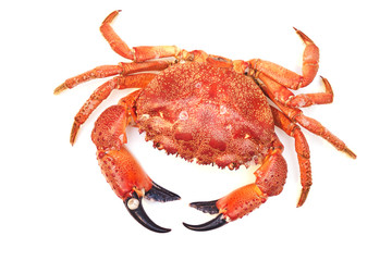Boiled red big sea crab from the waters of the Black Sea on a white background close-up. Sea delicacy in a restaurant on the coast