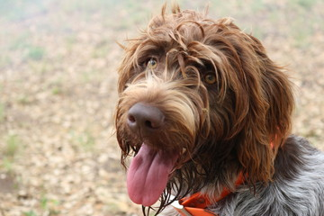 Portrait of wire-haired pointing griffon or Korthals