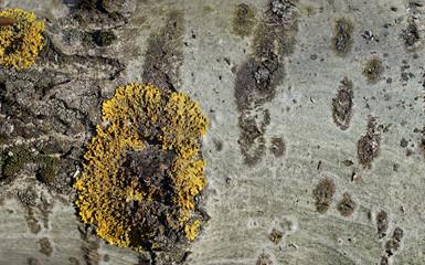 Жёлтые лишайники на коре осины.