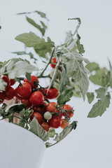 F ripe red cherry tomatoes on the plant