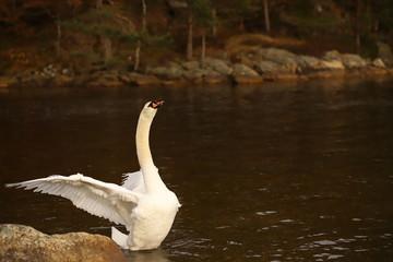 White male swan