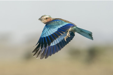 Lilac Breasted Roller in flight with wings down - Ndutu, Tanzania, Africa.