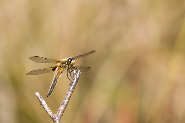 Watching / Four-spotted Chaser or Four-spotted Skimmer, Libellula quadrimaculata, on a twig, Meathop Moss Nature Reserve, Cumbria, England. 30 June 2015