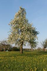 Apfelbaumblüten