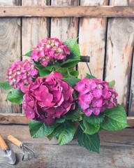 Fond de hotte en verre imprimé Hortensia Purple hydrangea in a vintage pot with garden instruments