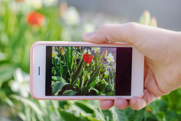 .Female hand takes pictures of spring flowers on the smartphone..Close-up