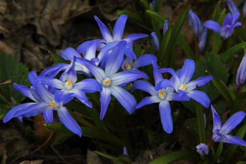 Blue crocuses in sunny day