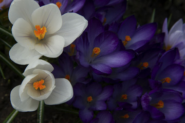 White and purple crocuses in sunny day