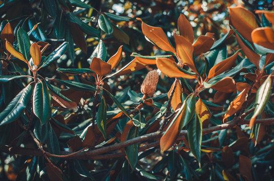 Magnolia tree leaves botanical background