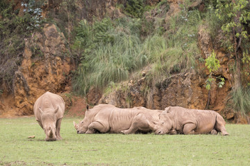 group of rhinos lying down and one of them eating grass