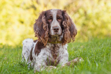 Brown spotted russian spaniel in the forest