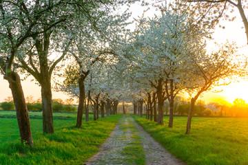 Obstbaum Weg im Frühling