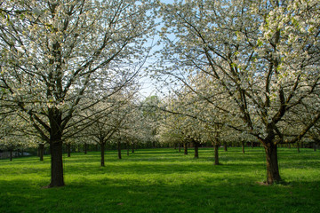 Cherry tree blossom, spring season in fruit orchards in Haspengo