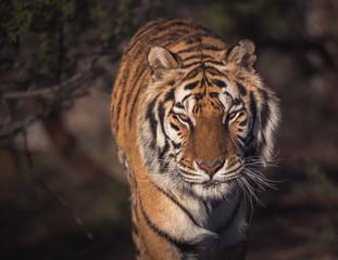 Portrait of a stalking tiger