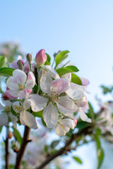 Apple tree blossom, spring season in fruit orchards in Haspengouw agricultural region in Belgium, close up