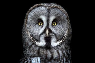 Great grey owl (Strix nebulosa) on black background