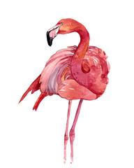 Watercolor flamingo bird animal illustration isolated on white background