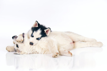 Two playful black and white and grey Siberian Husky puppies posing indoors on a white background