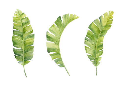 Watercolor hand painted leaf of banana plants on white background