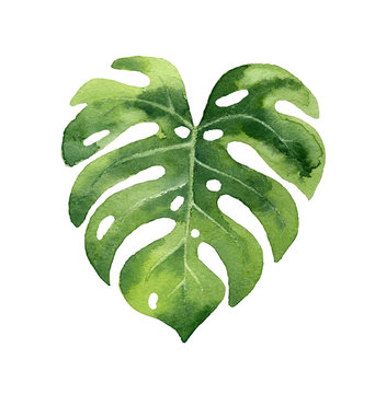 Watercolor hand painted leaf of tropical plants on white background.Original watercolor painting