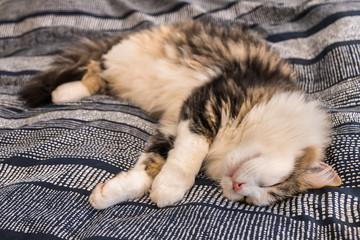 tabby ragdoll cat lying down on blue bedding