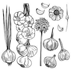 Hand drawn  garlic. Vector sketch illustration