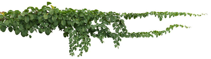 Poster Plant vine plant jungle, climbing isolated on white background. Clipping path